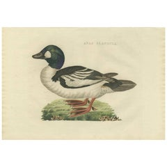 Antique Bird Print of the Common Goldeneye by Sepp & Nozeman, 1809
