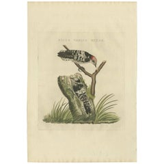 Antique Bird Print of the Lesser Spotted Woodpecker by Sepp & Nozeman, 1809