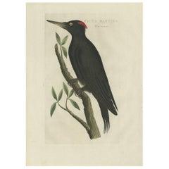 Antique Bird Print of a Female Black Woodpecker by Sepp & Nozeman, 1809