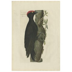 Antique Bird Print of a Male Black Woodpecker by Sepp & Nozeman, 1809