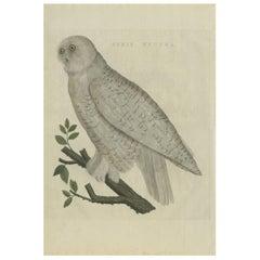 Antique Bird Print of the Snowy Owl by Sepp & Nozeman, 1809