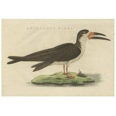 Antique Bird Print of the Black Skimmer by Sepp & Nozeman, 1829