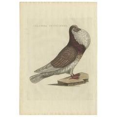 Antique Bird Print of a Cropper Pigeon by Sepp & Nozeman, 1829