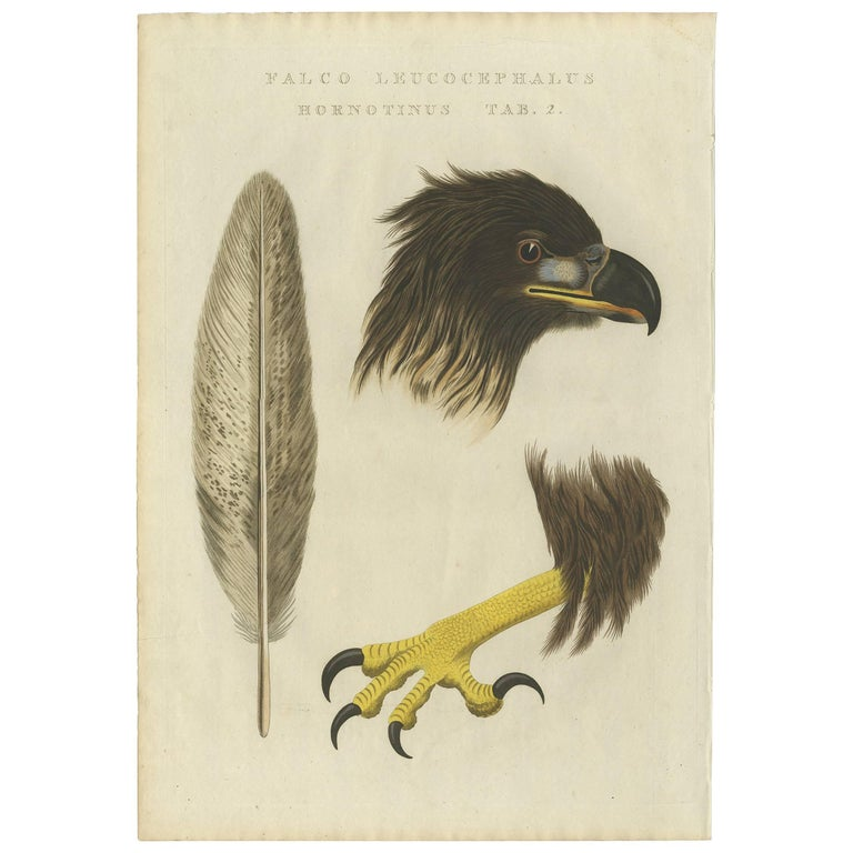 Antique Bird Print of the White-Tailed Eagle 'tab 2.' by Sepp & Nozeman, 1829