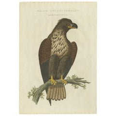 Antique Bird Print of the White-Tailed Eagle by Sepp & Nozeman, 1829