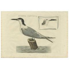 Antique Bird Print of the Sandwich Tern by Sepp & Nozeman, 1829