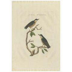 Antique Bird Print of the Eurasian Nuthatch by Sepp & Nozeman, 1829
