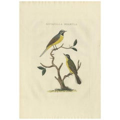 Antique Bird Print of the Yellow Wagtail by Sepp & Nozeman, 1829