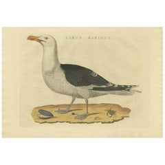 Antique Bird Print of the Great Black-Backed Gull by Sepp & Nozeman, 1829