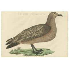 Antique Bird Print of the Great Skua by Sepp & Nozeman, 1829