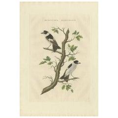 Antique Bird Print of the Collared Flycatcher by Sepp & Nozeman, 1829