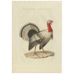 Antique Bird Print of a Turkey by Sepp & Nozeman, 1829