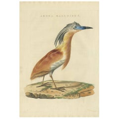 Antique Bird Print of the Squacco Heron by Sepp & Nozeman, 1829