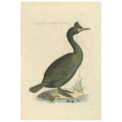 Antique Bird Print of a Cormorant by Sepp & Nozeman, 1829