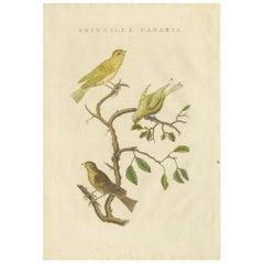 Antique Bird Print of the Atlantic Canary by Sepp & Nozeman, 1829