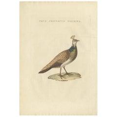 Antique Bird Print of a Female Indian Peafowl by Sepp & Nozeman, 1829