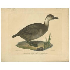Antique Print of a Duck by J.C. Bock, circa 1800