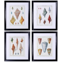 Set of Four Large Seashell Engravings