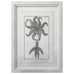 18th Century Rare French Engraving of Sea Star