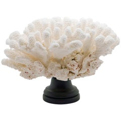 Mounted Cats Paw Coral