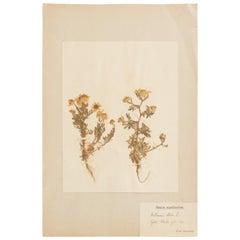Antique Herbarium from Sweden Picked in 1893