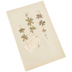 """Antique Herbarium from Sweden """"Asperula Odorata"""" Picked in July 1892"""