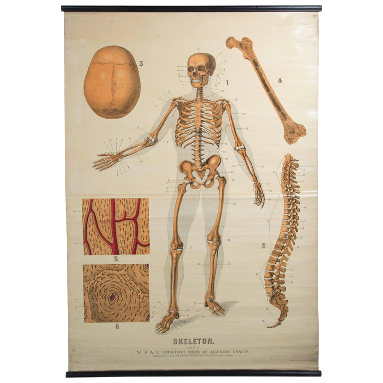 W&A J Johnstons Series of Anatomy, Skeleton For Sale at 1stdibs