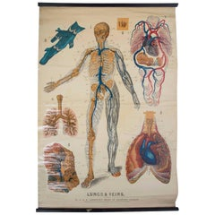 W&A J Johnstons Series of Anatomy 'Lungs and Respiratory System'