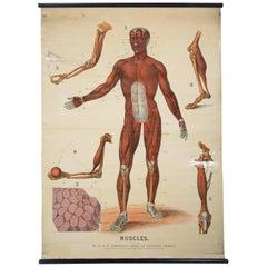 W&a J Johnstons Series of Anatomy, Muscular Framework
