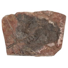 Crinoid Fossil from Morocco, about 450 Million Years Old