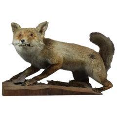 1950s Taxidermy Fox