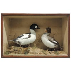 Taxidermy Pair of Ducks in Display Case