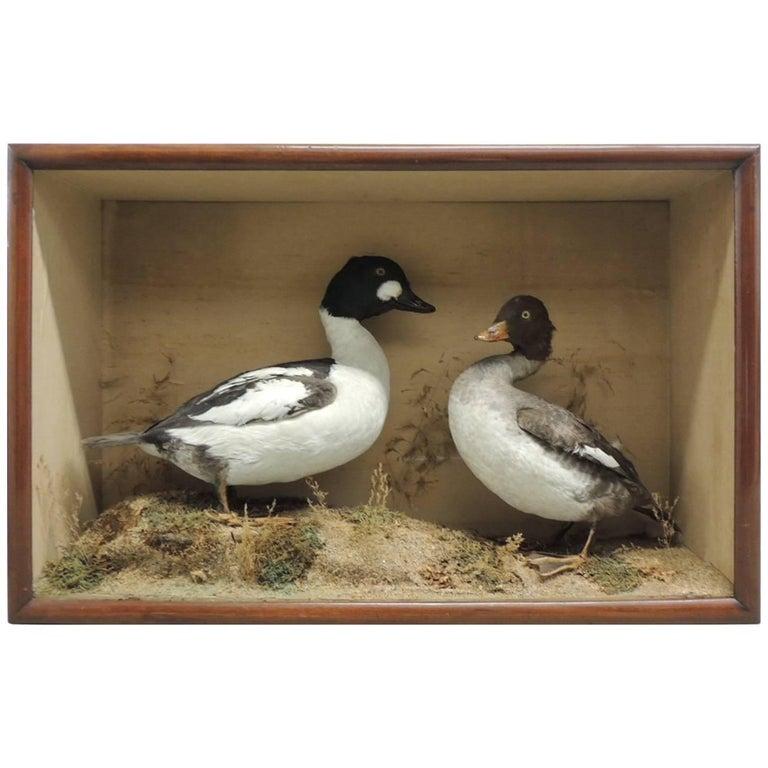 Taxidermy Pair of Ducks in Display Case