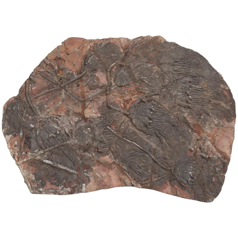 Fossil Crinoid or Scyhocrinus Elegans 350 Million Years Old For Sale