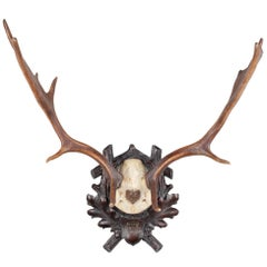 Antique Habsburg Fallow Deer Trophy of Emperor Franz Josef from Eckartsau Castle