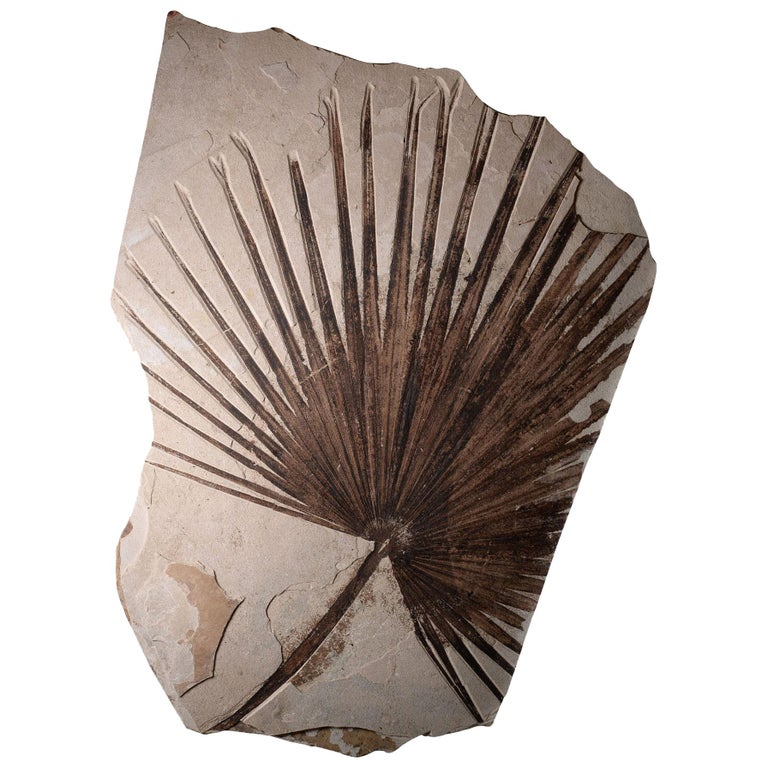 Giant Green River Palm Frond Fossil Leaf For Sale