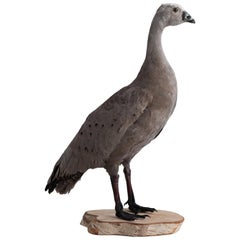 Cape Barren Goose Taxidermy, circa 1950