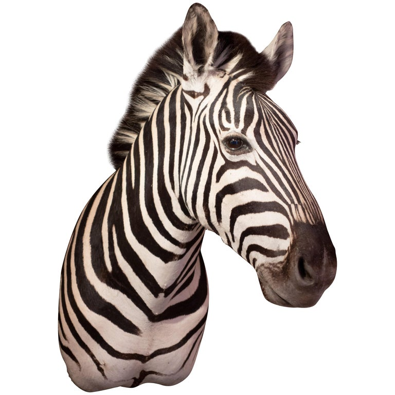 Premier Quality Taxidermy Burchell's Zebra Shoulder Mount from South Africa