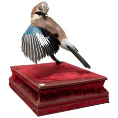 Eurasian jay Fine Taxidermy by DS&vT