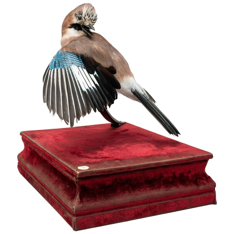 Eurasian jay Fine Taxidermy by DS&vT 1