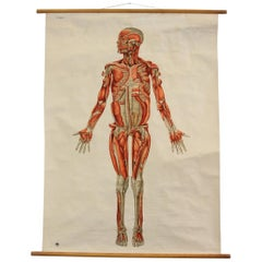 Anatomical Wall Chart of the Muscles, circa 1960s