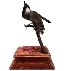 Black-Throated Laughingthrush Fine Taxidermy by DS&vT