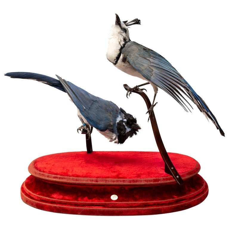 Two Species of Magpie Jay's Fine Taxidermy by DS&vT 1