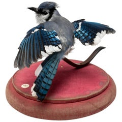 Blue Jay Fine Taxidermy by DS&vT