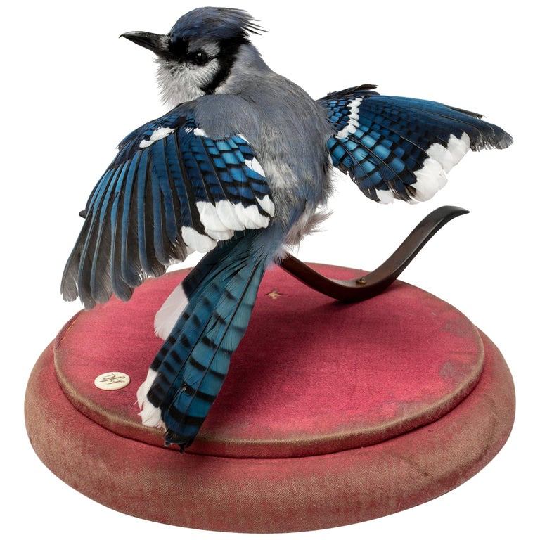 Blue Jay Fine Taxidermy by DS&vT 1