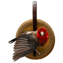 Brown-Breasted Barbet Fine Taxidermy by DS&vT