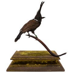 Crested Jay Fine Taxidermy by Ds&vT