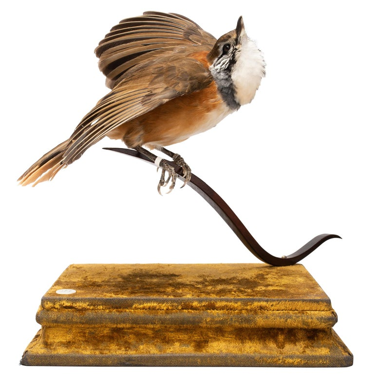 Greater Necklaced Laughingthrush Fine Taxidermy by DS&vT 1