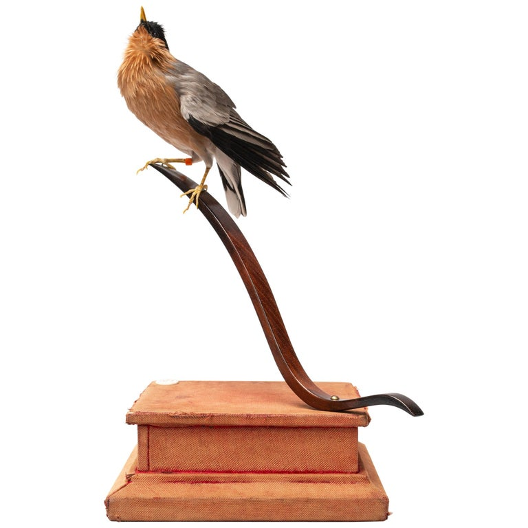 Pagoda Starling Fine Taxidermy by DS&vT For Sale