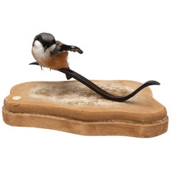 Red-Backed Shrike Fine Taxidermy by DS&vT
